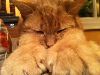 ginger cat big paws