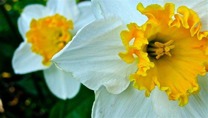 daffodils heaton park manchester
