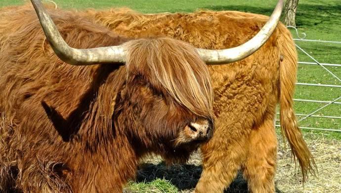 highland cattle heaton park manchester