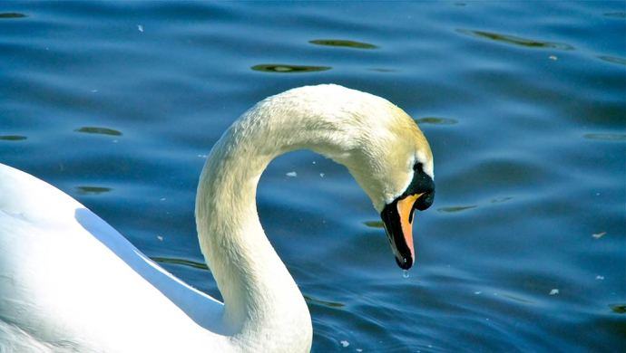 Swan Heaton Park Manchester