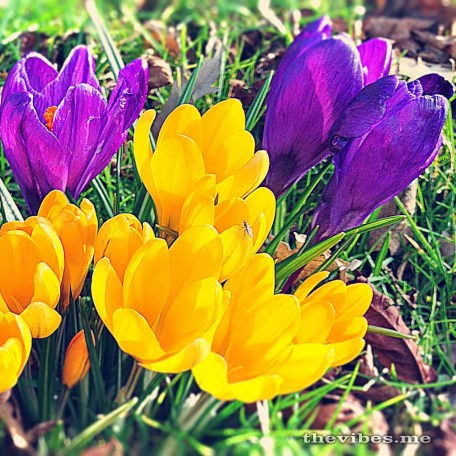 Crocuses in the park