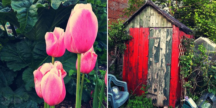 Tulips and red shed
