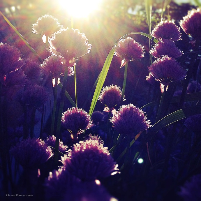 chive flowers Clevelys Avenue allotment chorlton manchester