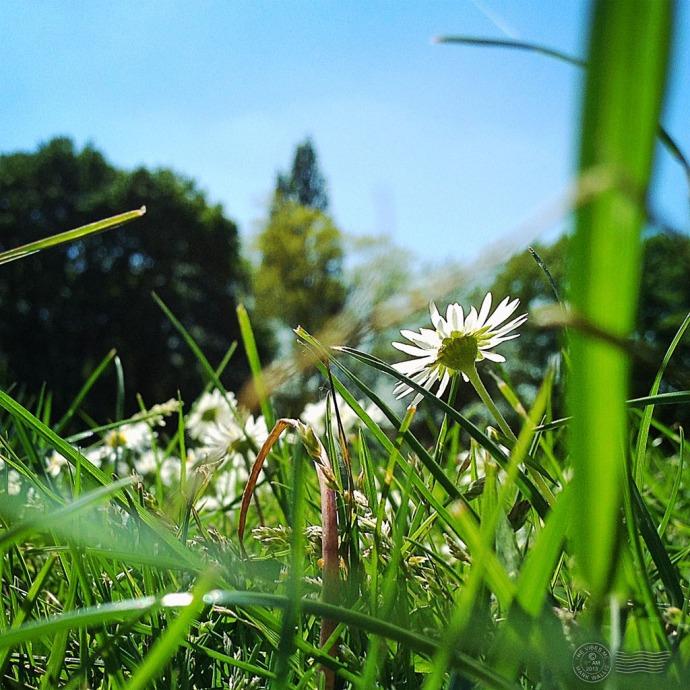Daisies in Chorlton Park