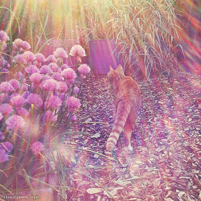 ginger cat and chive flowers